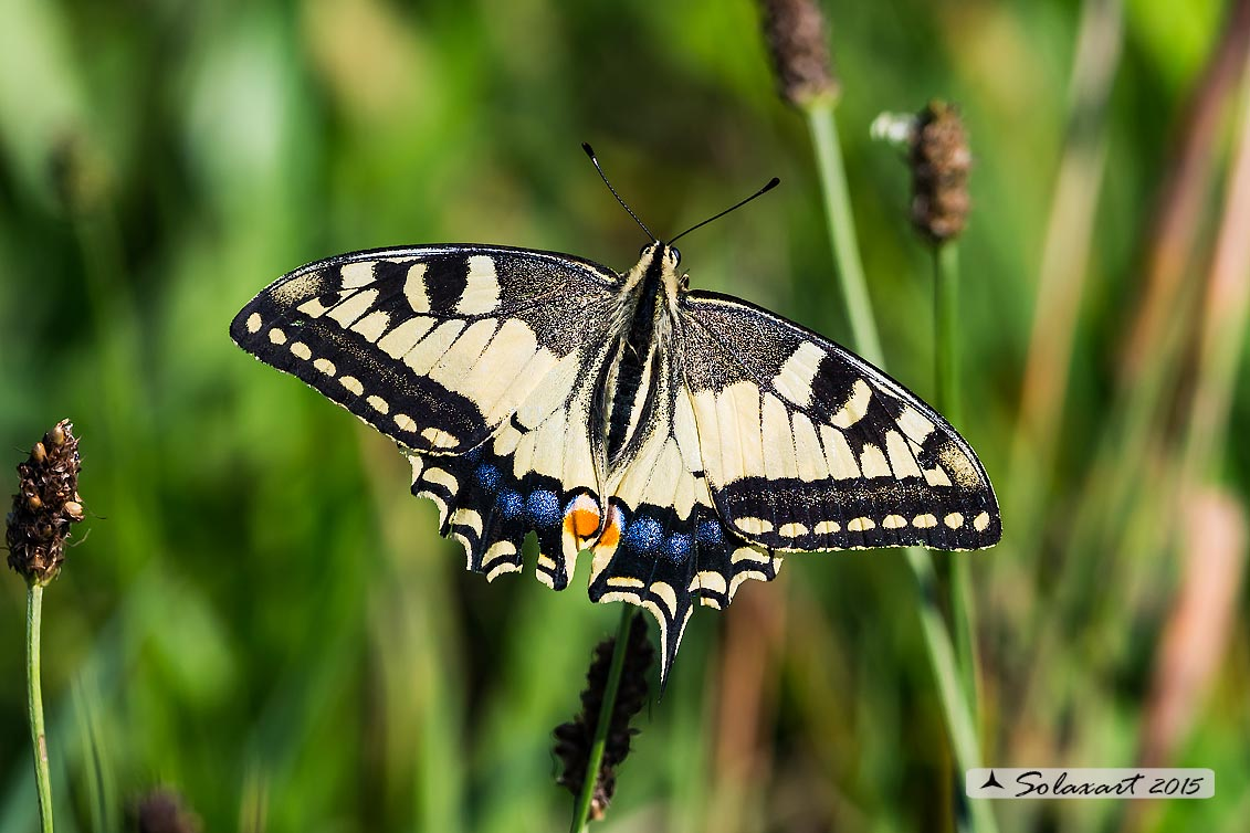 Papilio machaon: Macaone (maschio) ; Old World Swallowtail or yellow Swallowtail  (male)