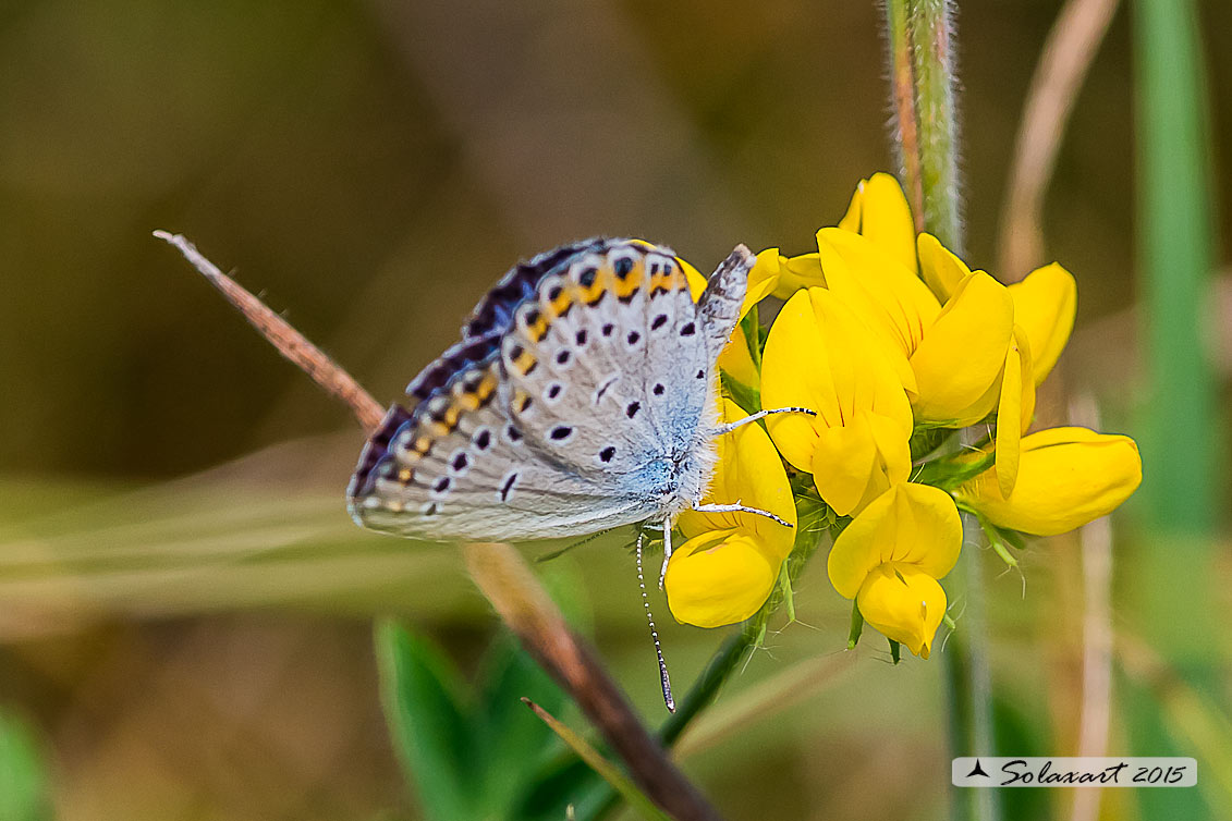 Plebejus idas: Idas(maschio); Idas Blue or Northern Blue (male)
