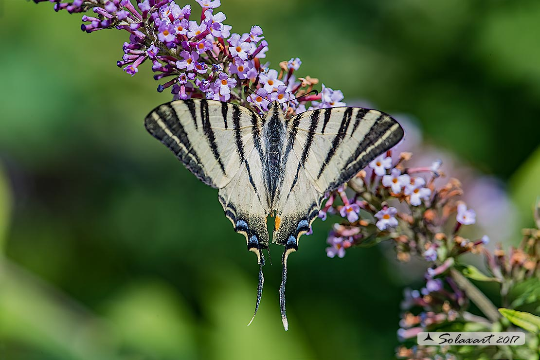 Iphiclides  Podalirius - Podalirio ( maschio ) - Scarce Swallowtail (male)