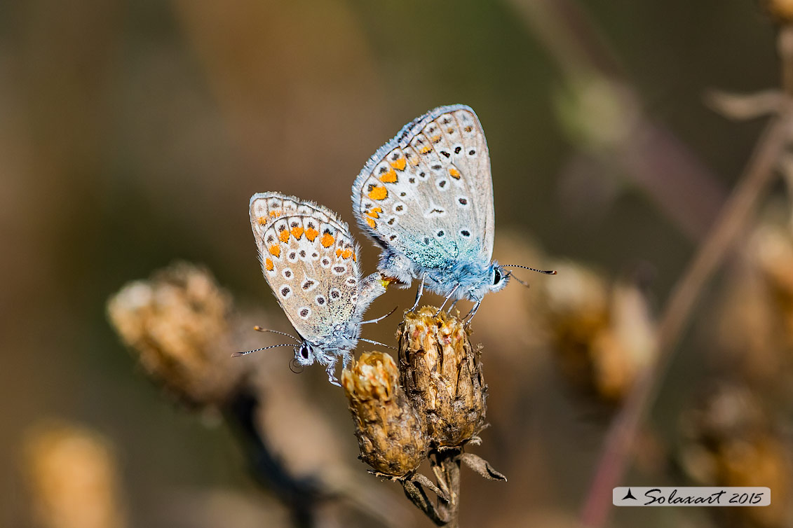 Polyommatus icarus:  Icaro (copula);  Common Blue (mating)