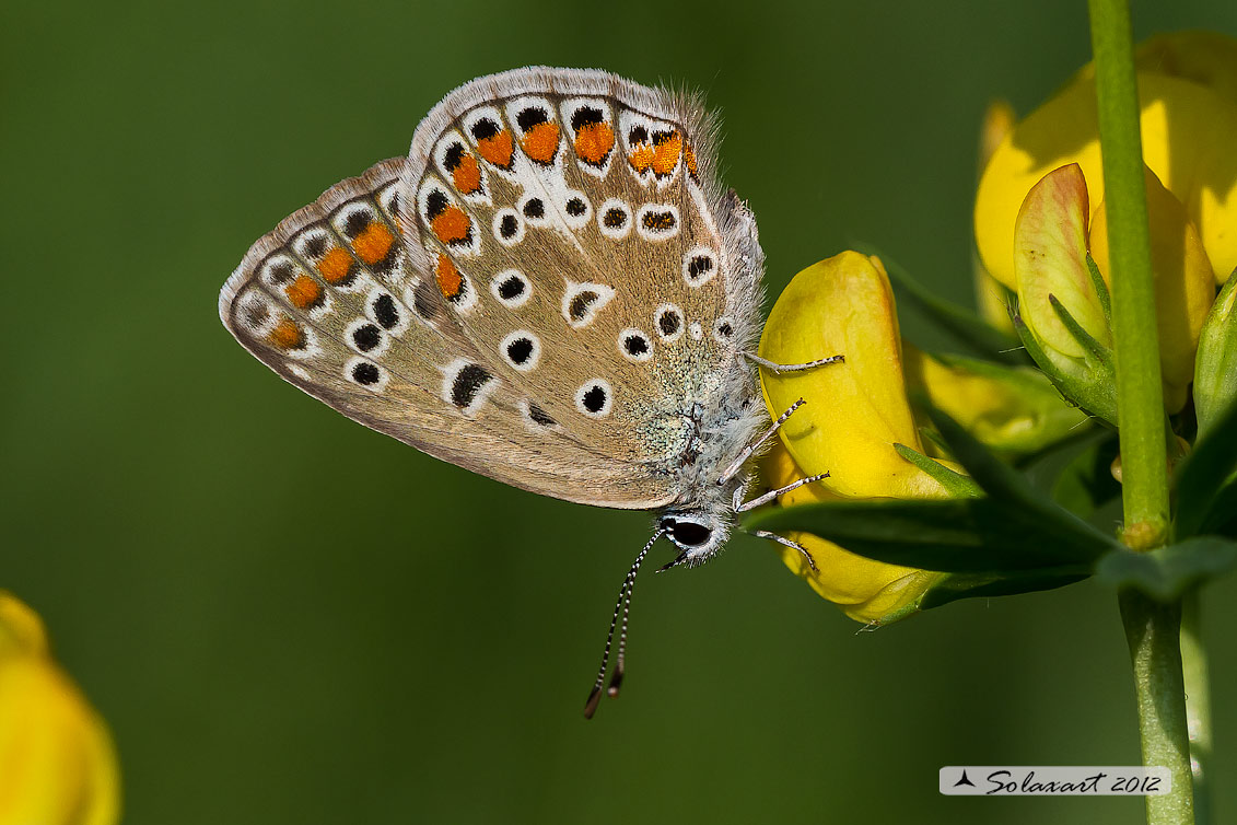 Polyommatus icarus:  Icaro (femmina);  Common Blue (female)