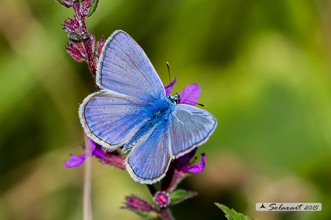 Polyommatus icarus: Icaro (maschio); Common Blue (male)