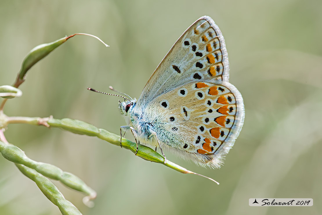 Polyommatus thersithes; Chapman's blue