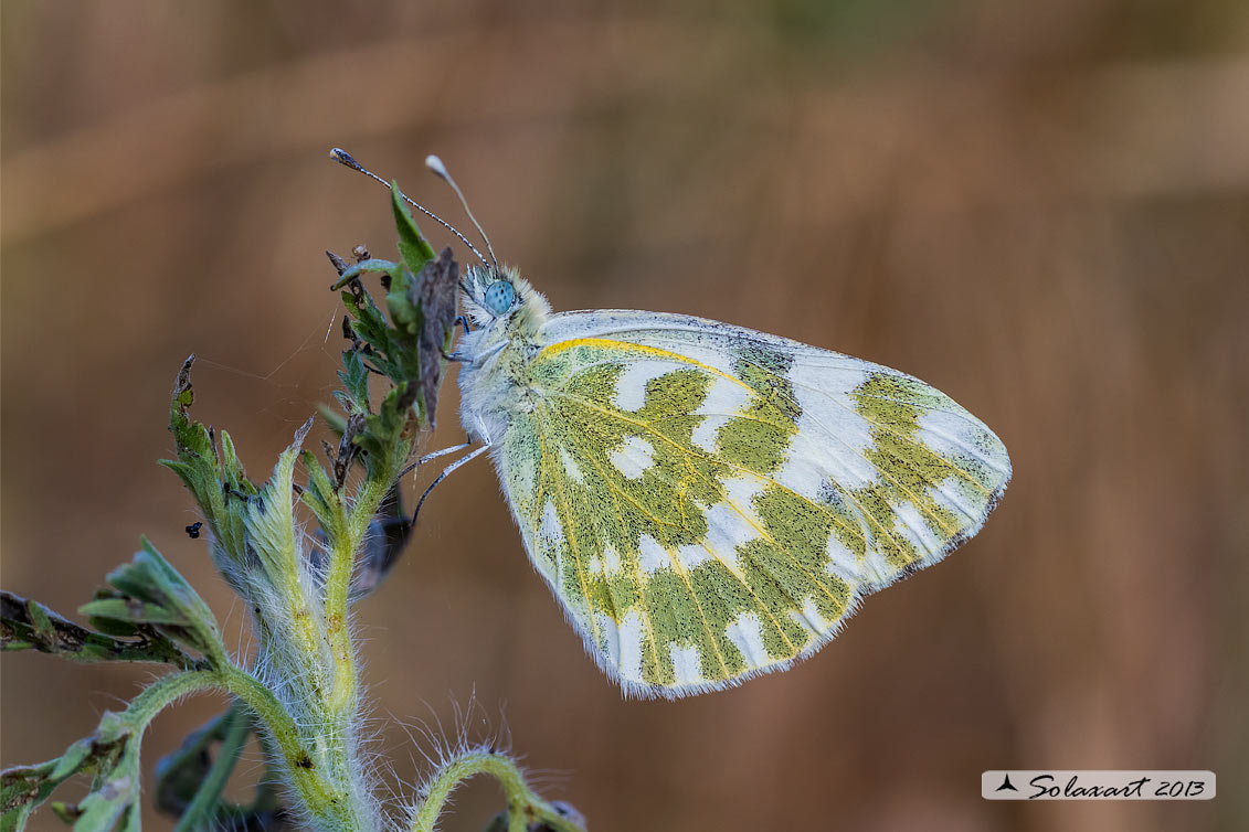 Pontia edusa: Edusa (femmina); Eastern Bath White (female)