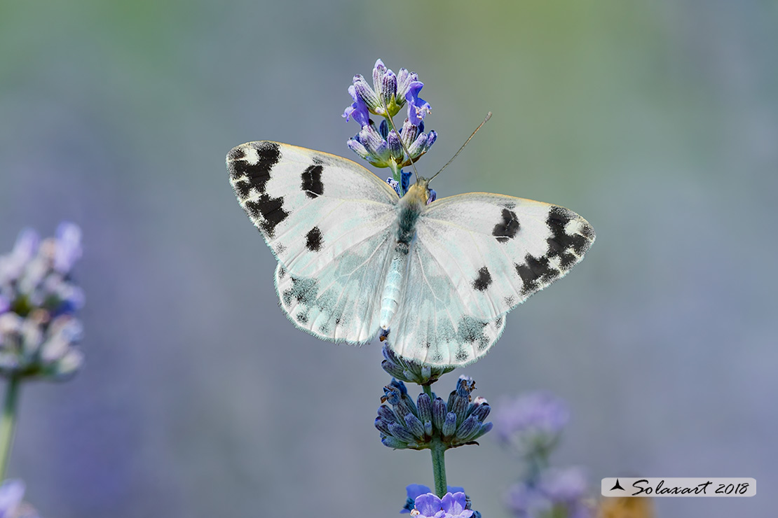 Pontia edusa: Edusa (maschio); Eastern Bath White (male)