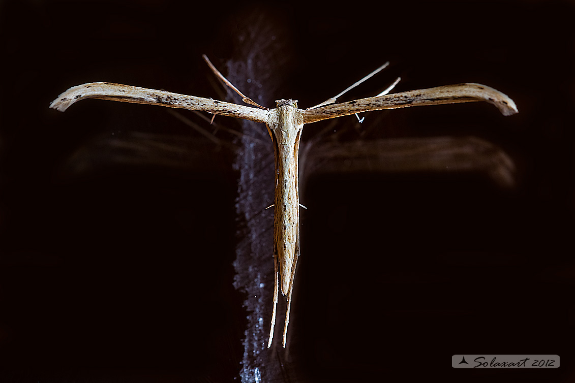 Pterophorus monodactylus:     T-Moth  or  Morning-glory Plume Moth