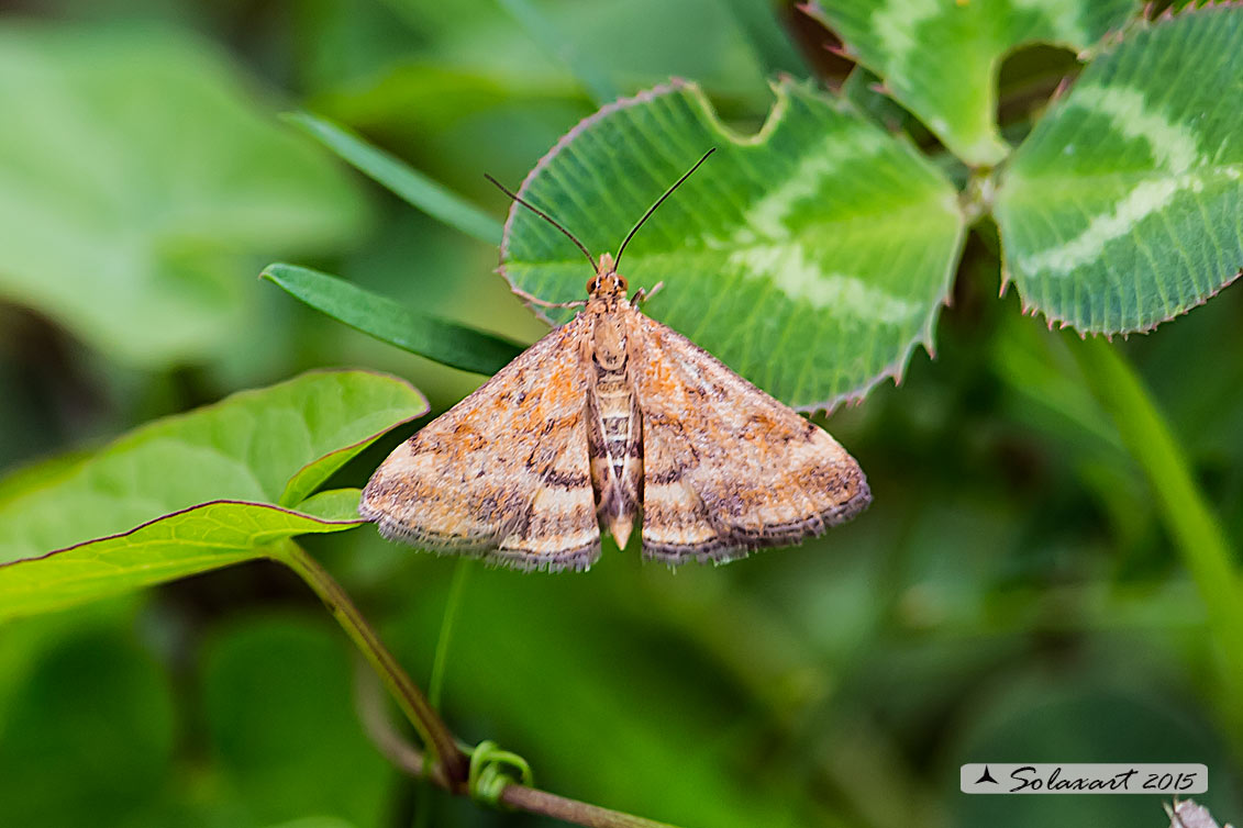 Pyrausta despicata ; Straw-barred pearl (female)