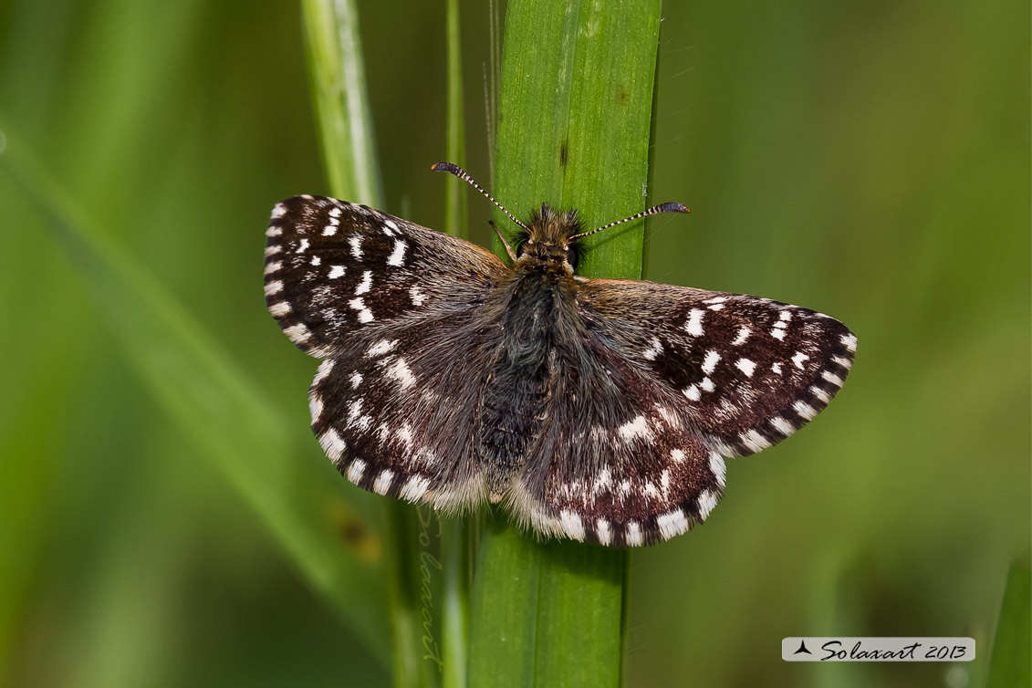 Pyrgus malvoides (femmina ) ; Southern Grizzled Skipper (female)