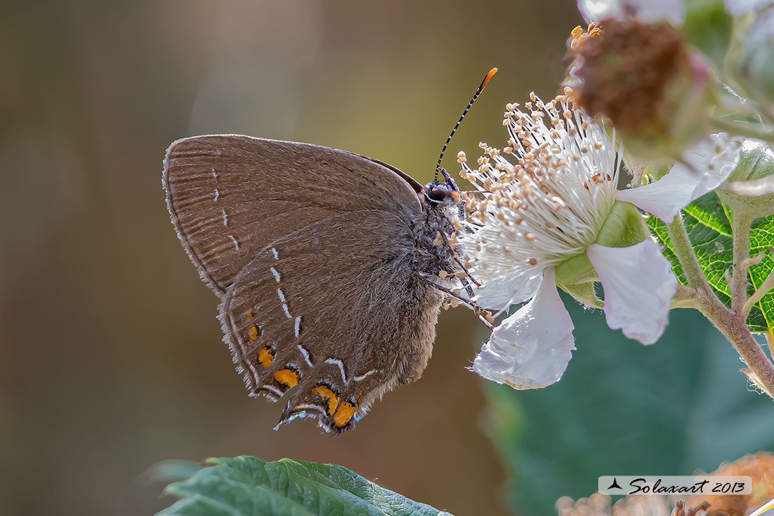 Satyrium ilicis - Satiro del leccio (femmina) - Ilex Hairstreak (female)