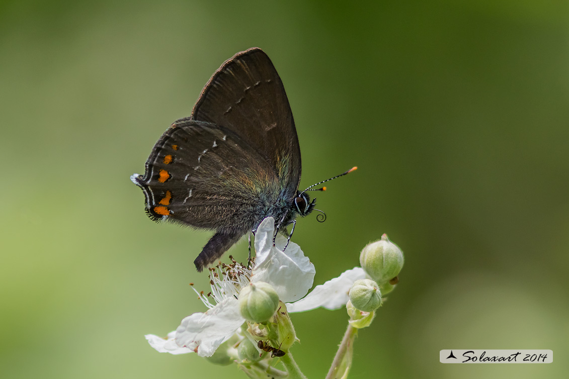 Satyrium ilicis - Satiro del leccio (maschio) - Ilex Hairstreak (male)
