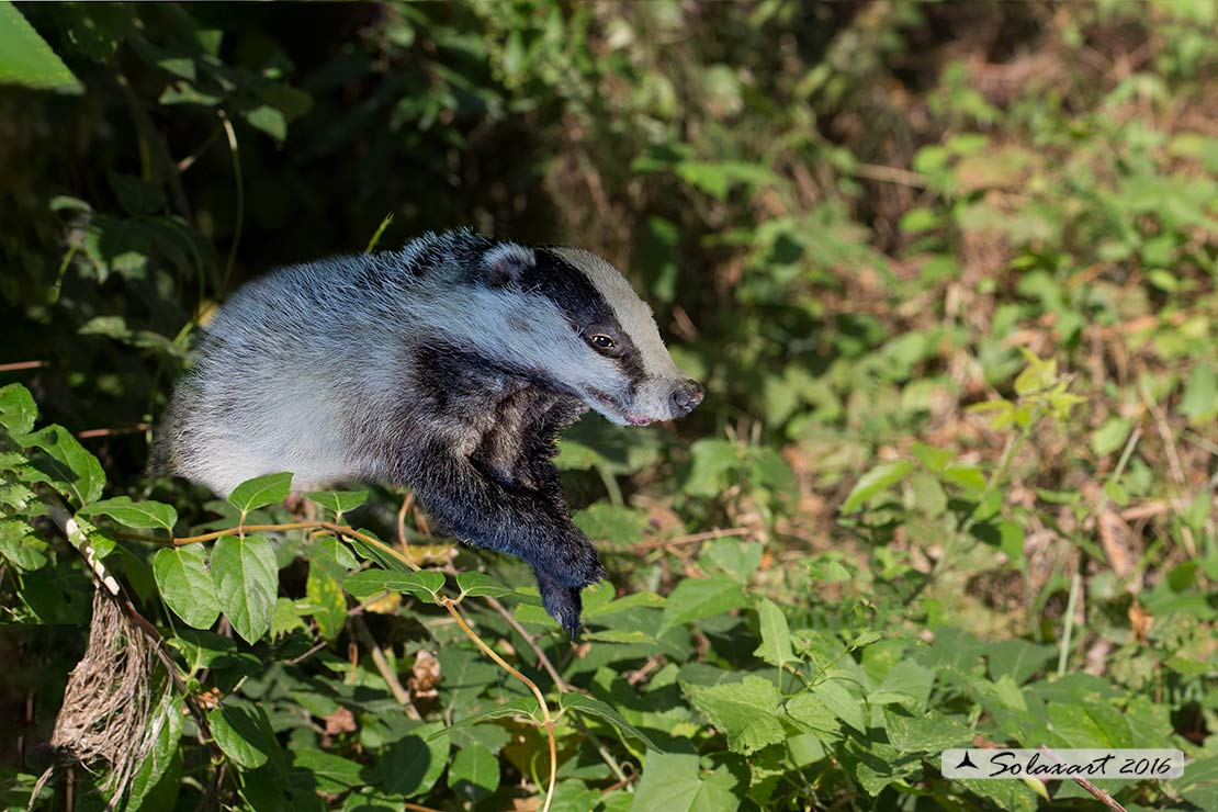 Meles meles: Tasso; European badger