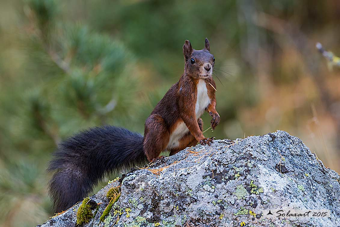 Sciurus vulgaris: Scoiattolo rosso; Red squirrel