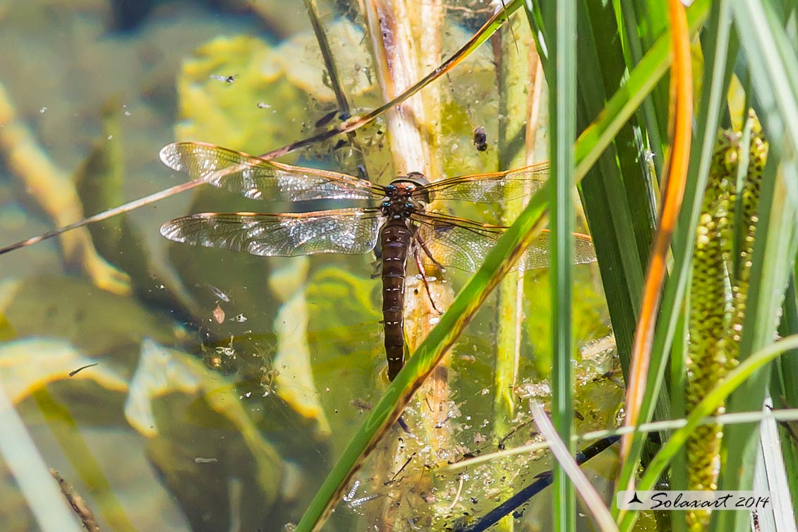 Aeshna grandis - Dragone bruno - Brown Hawker