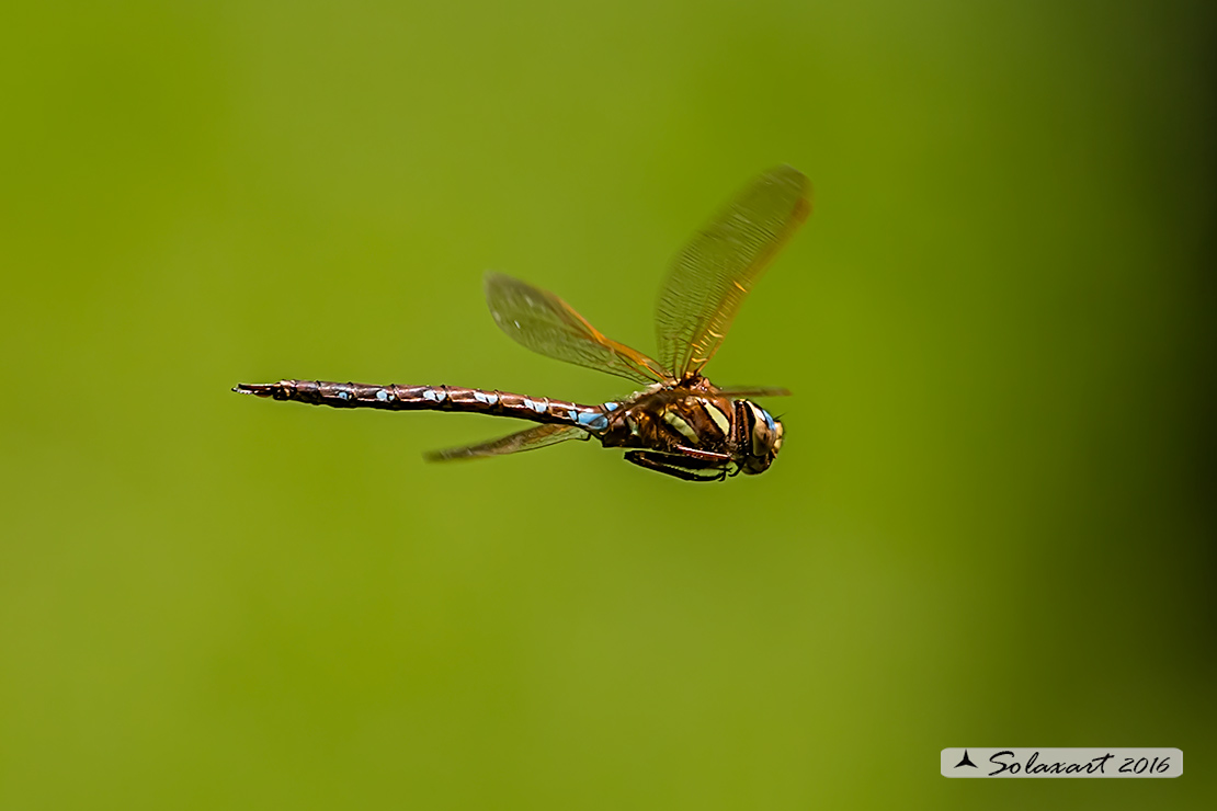 Aeshna grandis :  Dragone bruno (maschio)   ;    Brown Hawker  (male)
