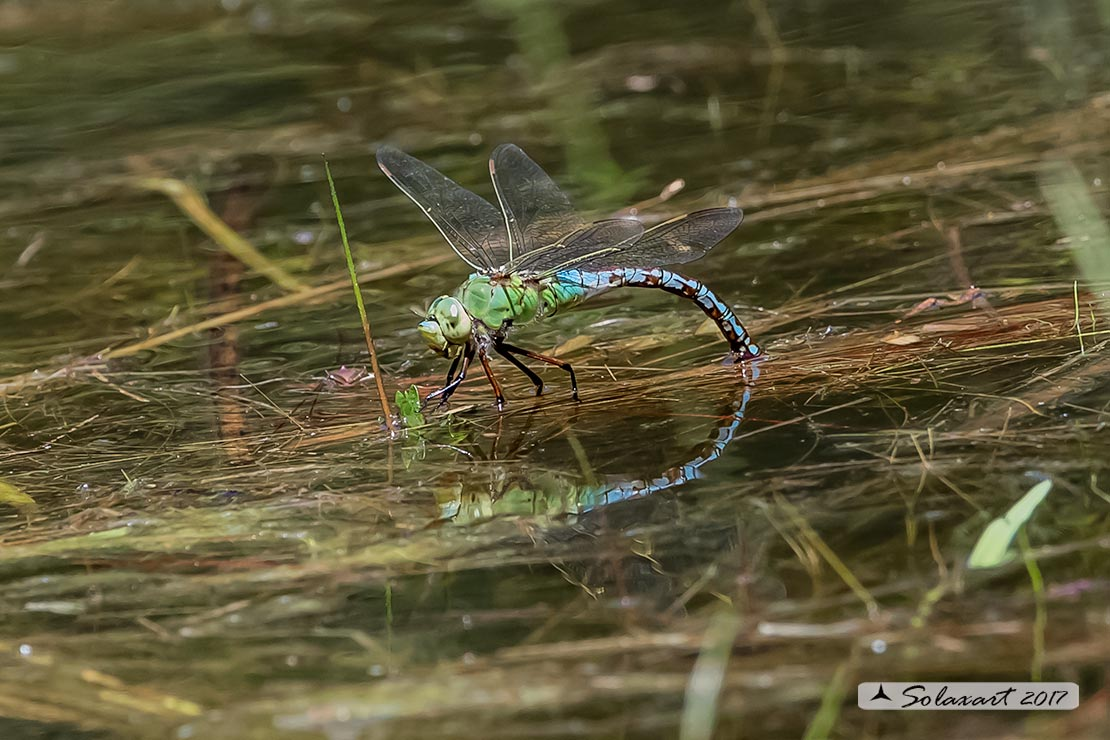 Anax imperator (femmina) - Emperor Dragonfly (female)