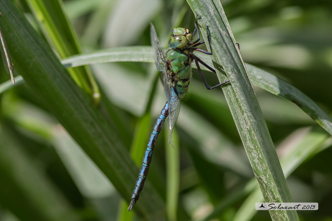 Anax imperator  (maschio)    -    Emperor Dragonfly  (male)