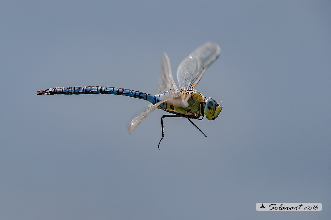 Anax imperator:    Imperatore  (maschio)   ;    Emperor Dragonfly (male)