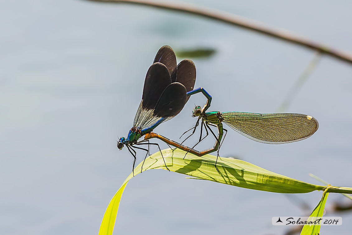 Calopteryx splendens (copula) -  Banded Demoiselle (mating)