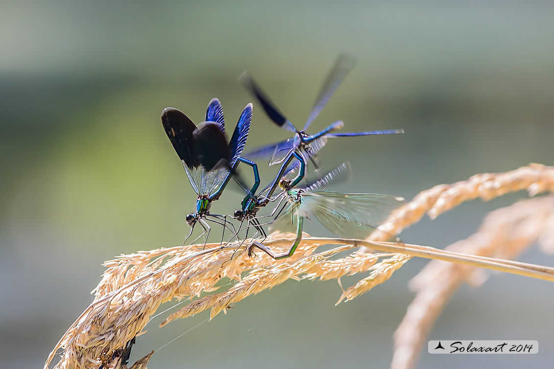 Calopteryx splendens (copula in promiscuità) - Banded Demoiselle (wantonness mating)