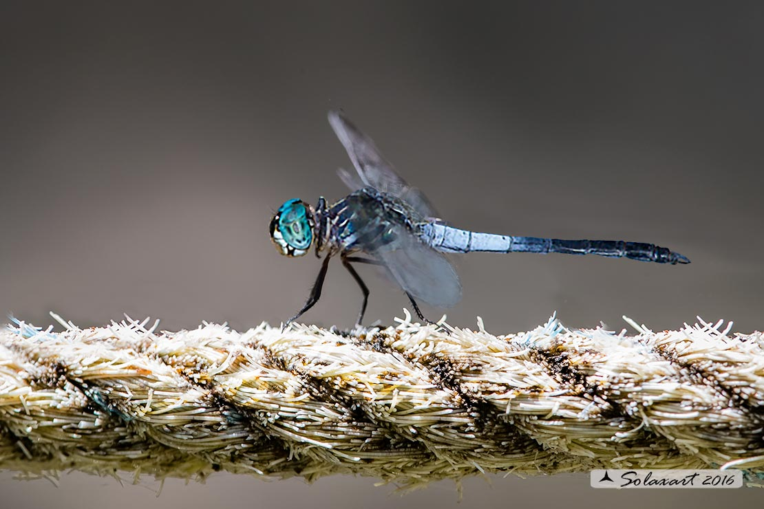 Cannaphila insularis  :     Gray-waisted Skimmer (male)