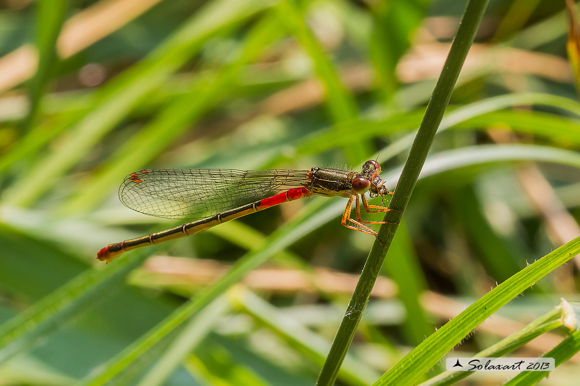 Ceriagrion tenellum (femmina) - Small Red Damselfly  (female)