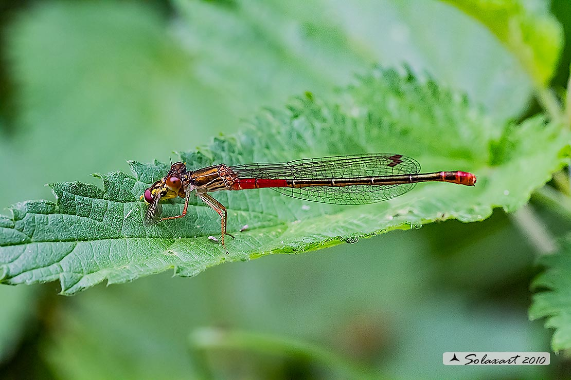 Ceriagrion tenellum (femmina durante il pasto) - Small Red Damselfly  (female)