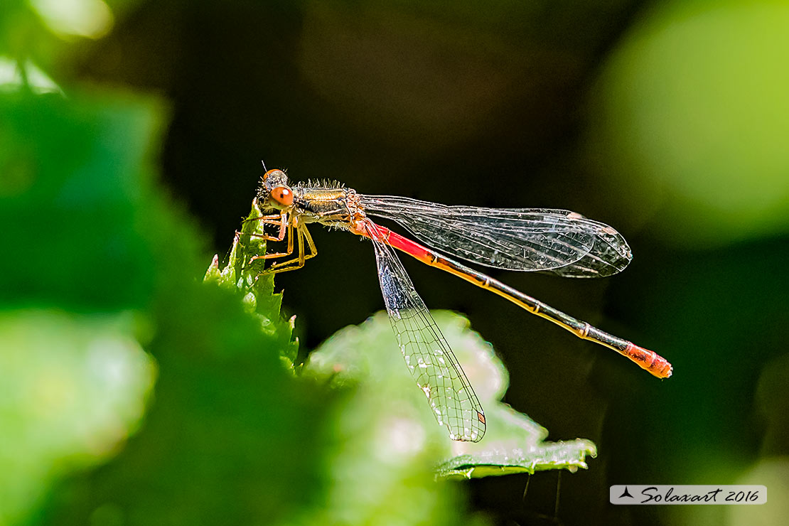 Ceriagrion tenellum:    Damigella rossa (femmina)    ;    Small Red Damselfly  (female)
