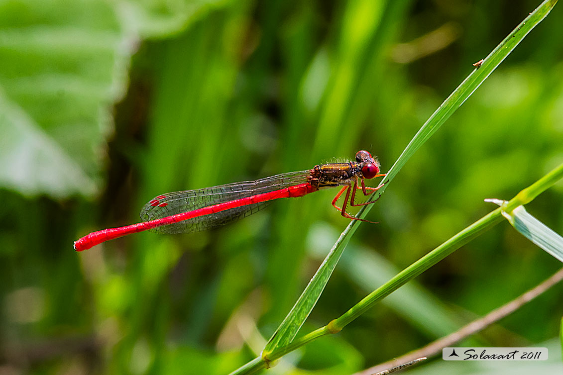 Ceriagrion tenellum (maschio)    -    Small Red Damselfly  (male)