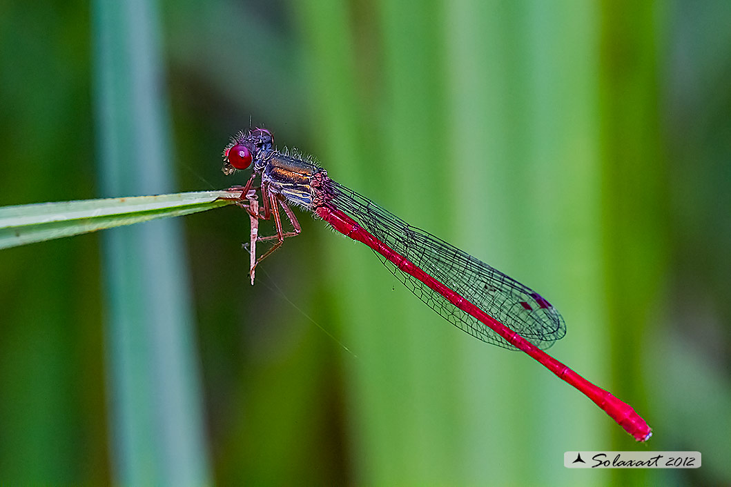 Ceriagrion tenellum  - Small Red Damselfly