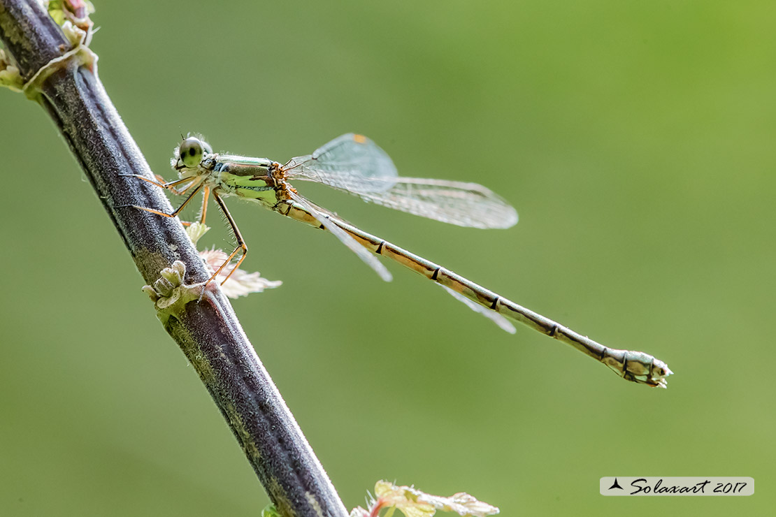 Lestes (Chalcolestes) parvidens  (femmina)  -    Eastern Willow Spreadwing (male)