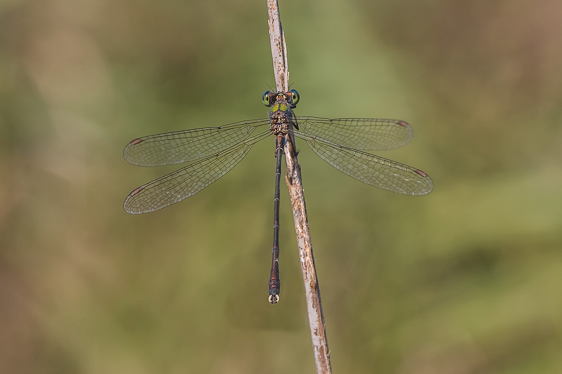 Lestes (Chalcolestes) parvidens  (maschio)  -    Eastern Willow Spreadwing (male)