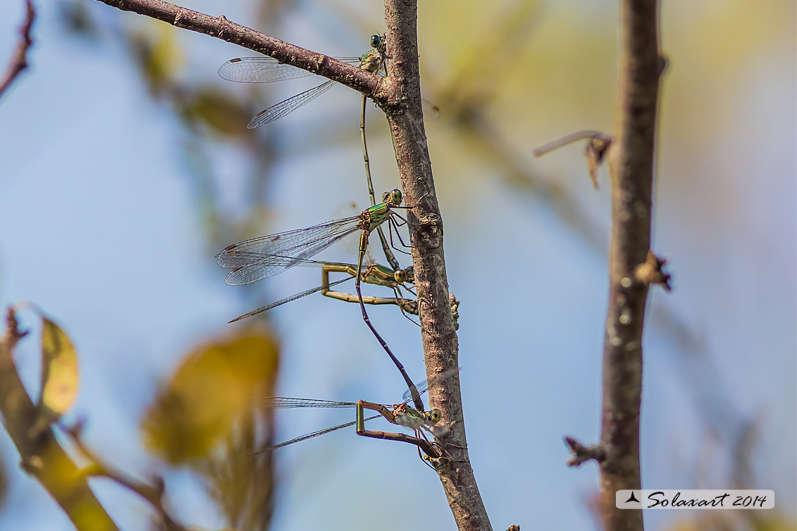 Lestes (Chalcolestes) parvidens  -    Eastern Willow Spreadwing