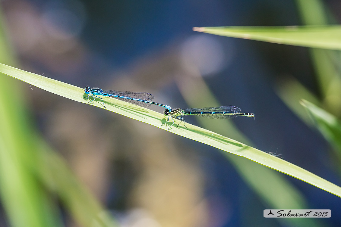 Coenagrion puella  (tandem per ovodeposizione) - Azure Damselfly  (tandem on Ovipositing)