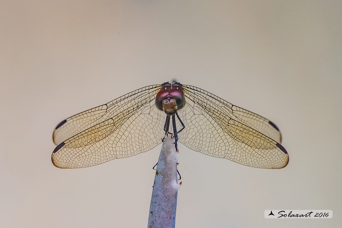 Dythemis sterilis :   Brown Setwing (male)
