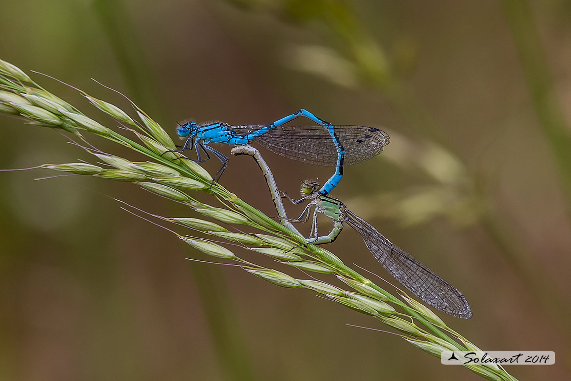 Enallagma cyathigerum (copula) - Common Blue Damselfly  (copula)