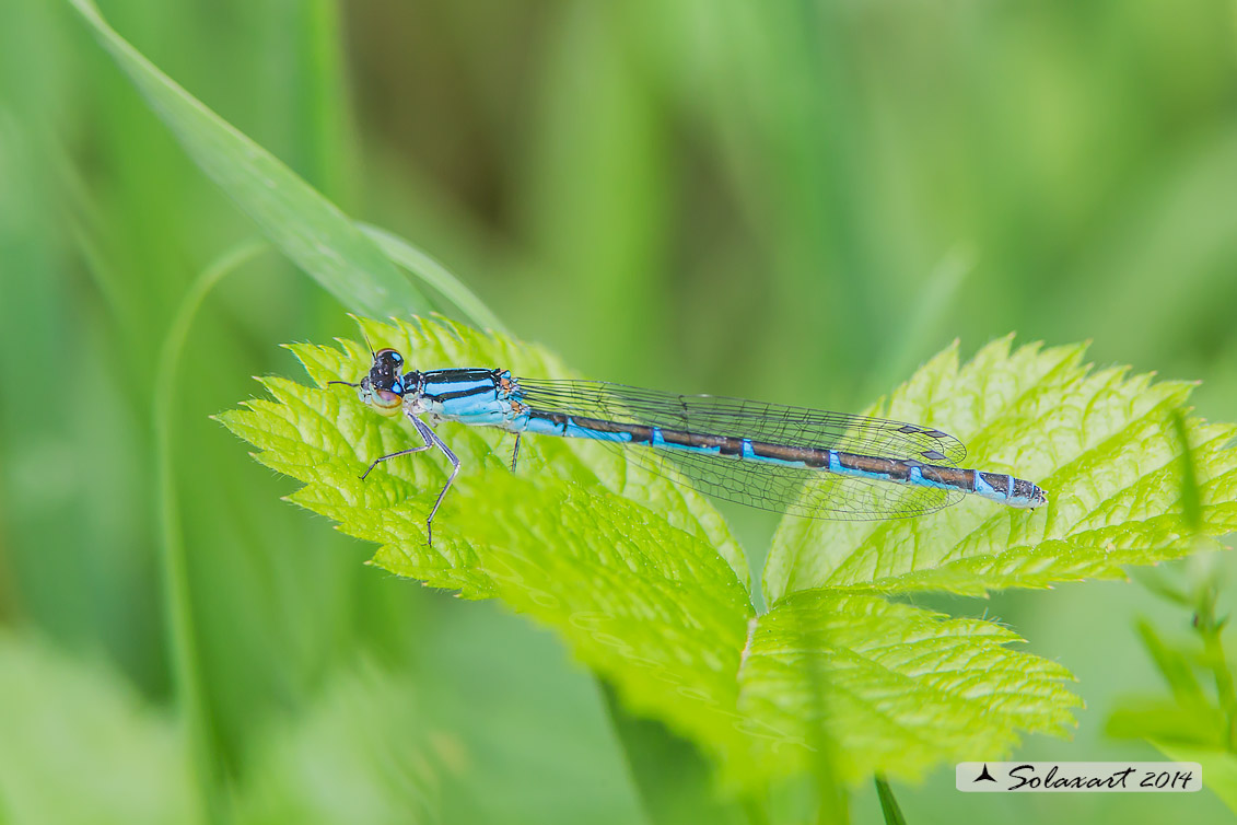 Enallagma cyathigerum (Femmina con variante cromatica blue) - Common Blue Damselfly  (female with chromatic variant blue)
