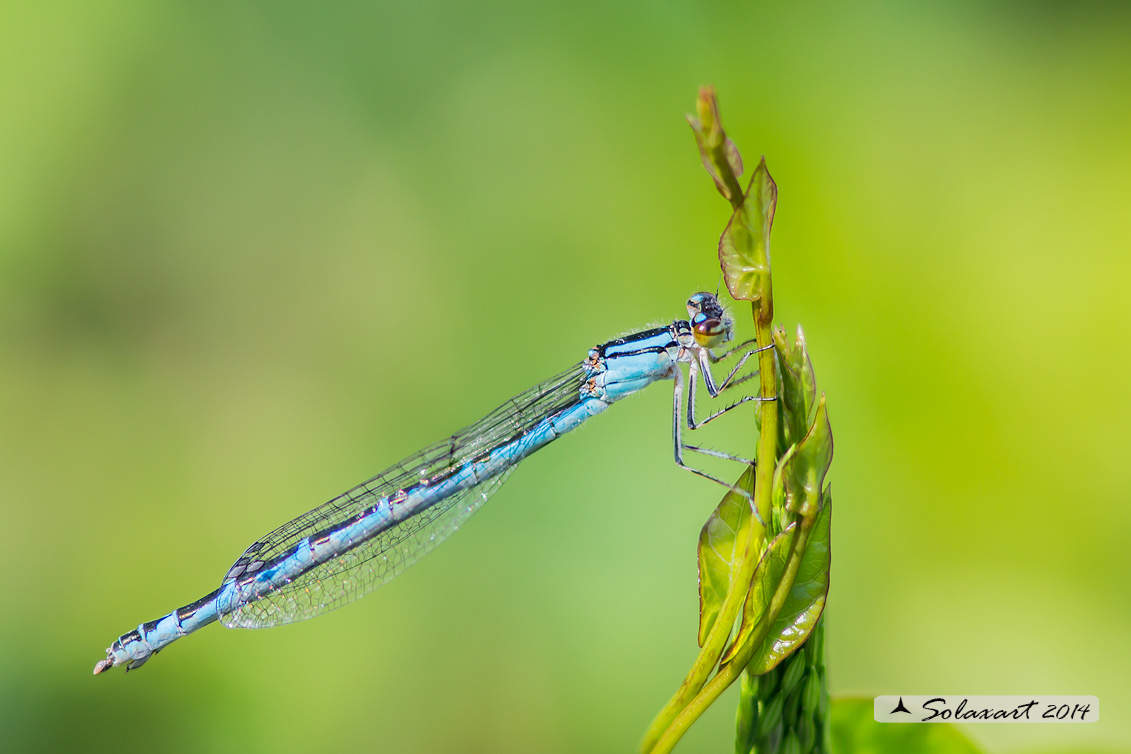 Enallagma cyathigerum (Femmina con variante cromatica blu) - Common Blue Damselfly  (female with chromatic variant blue)