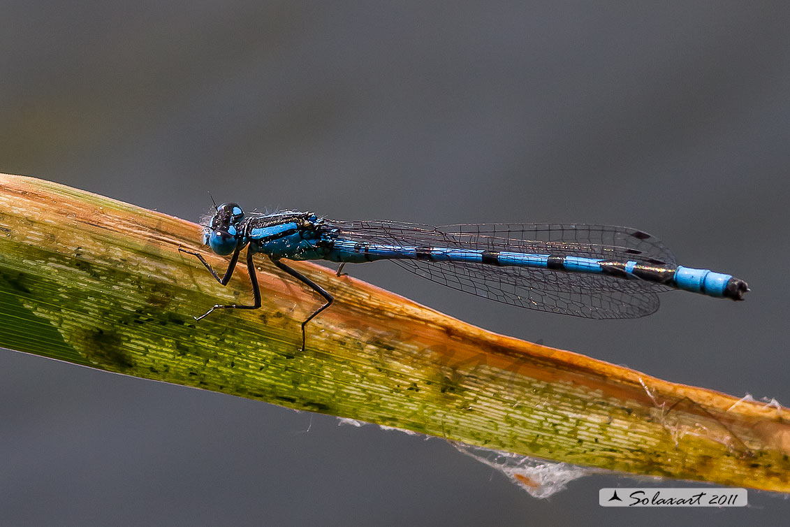 Enallagma cyathigerum  - Common Blue Damselfly