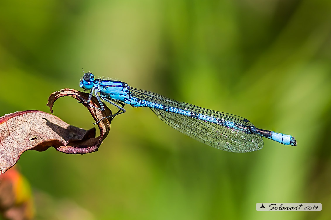 Enallagma cyathigerum (maschio) - Common Blue Damselfly  (male)