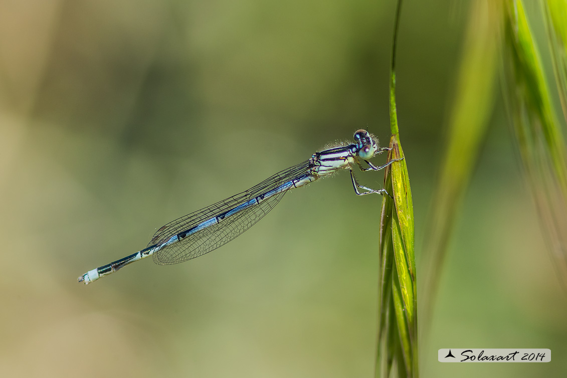 Erythromma lindenii (maschio ) - Goblet-marked Damselfly  (male)