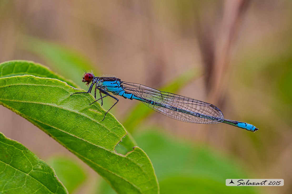 Erythromma viridulum:   Occhirossi minore (maschio) ;   small Red-eyed Damselfly  (male)