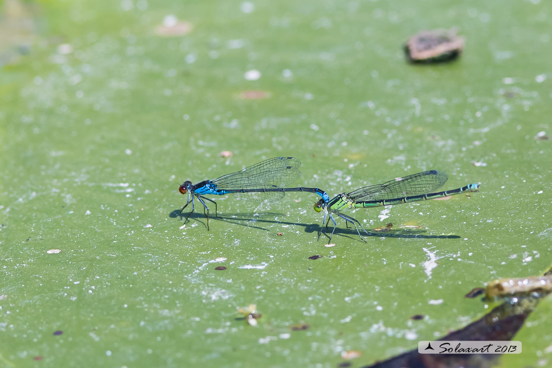 Erythromma viridulum  - Small Red-eyed Damselfy