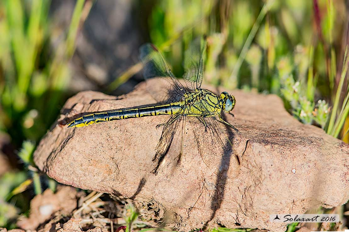Gomphus pulchellus  (femmina)   -    Western Club-tail (female)