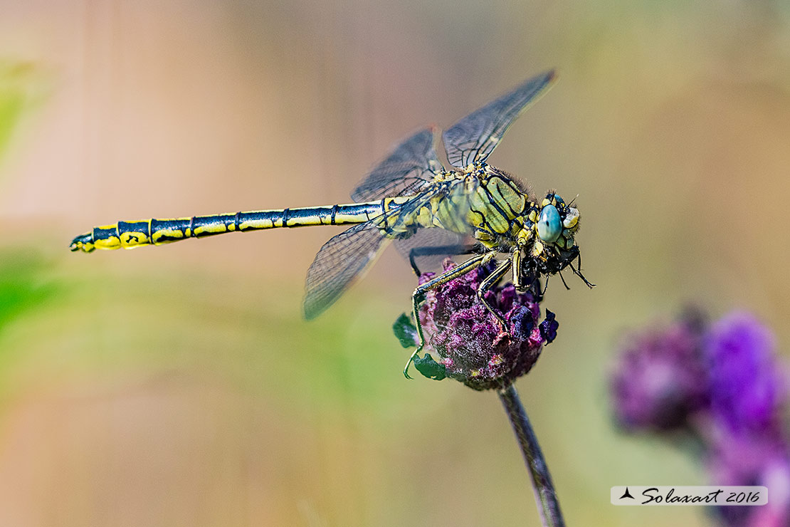 Gomphus pulchellus  (maschio)   -    Western Club-tail (male)