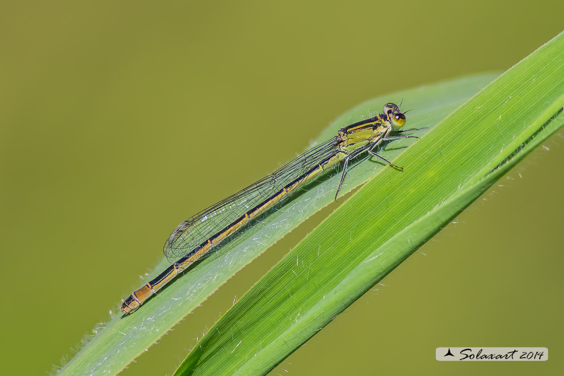 Ischnura elegans (femmina) - Blue-tailed Damselfly (female)