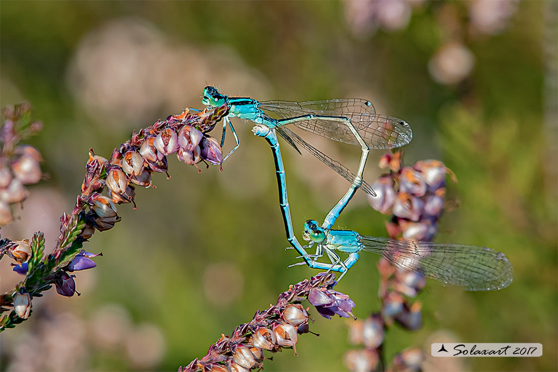 Ischnura pumilio  (copula)   ;   Scarce Blue-tailed Damselfly (mating wheel)