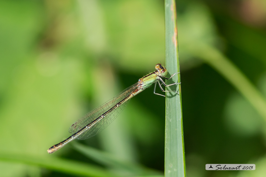 Ischnura pumilio  (femmina matura) - Scarce Blue-tailed Damselfly (mature female)