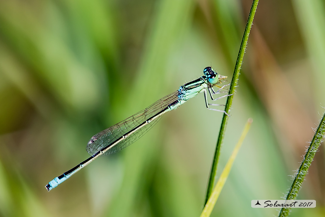 Ischnura pumilio  (maschio)   ;   Scarce Blue-tailed Damselfly (male)
