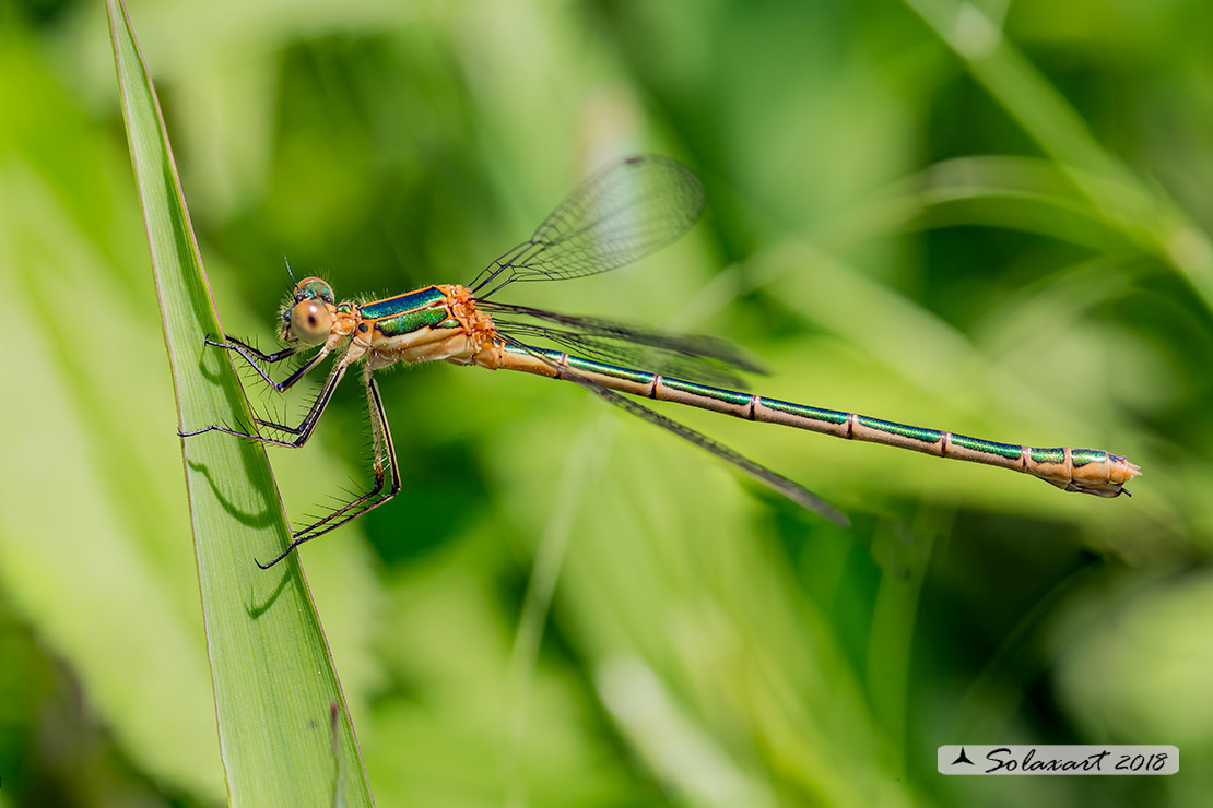 Lestes sponsa (femmina); Emerald Damselfly (female)