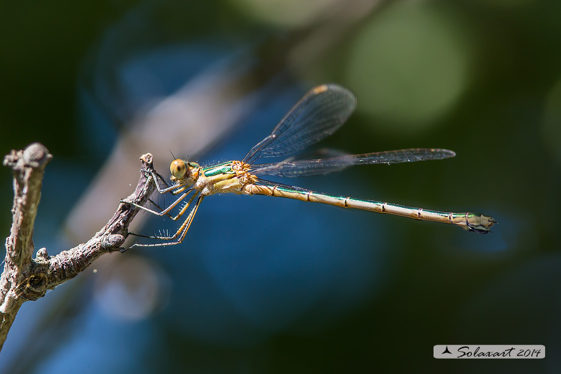 Lestes sponsa (femmina)  -    Emerald Damselfly (female)